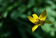 Tulipe sauvage - sylvestris de Tulipa Images libres de droits