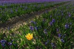 Tulipe seule Photo libre de droits