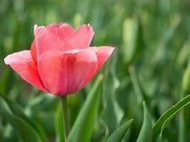 Tulipe simple avec des nuances de tulipe rose Photos libres de droits