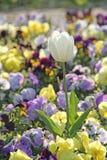 Tulipe simple de jardin commémoratif photographie stock libre de droits