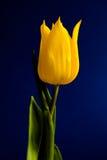 Tulipe sur le bleu images libres de droits