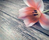 Tulipe sur le fond en bois de planches de grange foncée Images libres de droits