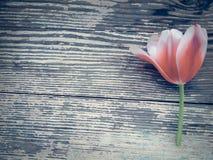 Tulipe sur le fond en bois de planches de grange foncée Photographie stock libre de droits