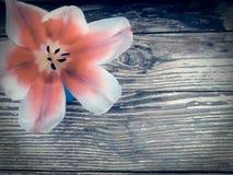 Tulipe sur le fond en bois de planches de grange foncée Photo libre de droits