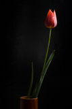 Tulipe sur le fond noir Photo stock