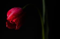 Tulipe sur le fond noir Image libre de droits