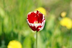 Tulipe sur le fond vert Photos stock