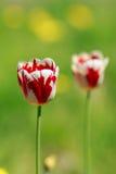 Tulipe sur le fond vert Photographie stock libre de droits