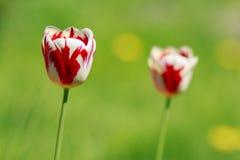 Tulipe sur le fond vert Photo libre de droits