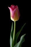 Tulipe sur le noir Photo libre de droits