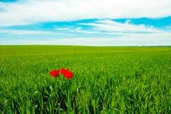 Tulipe trois photo libre de droits