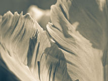 Tulipe (Tulipa) (104), plan rapproché Photo stock