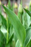 Tulipe verte Photos libres de droits