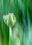 Tulipe verte et blanche Image stock