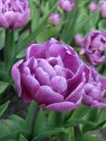 Tulipe violette sur la zone photographie stock libre de droits