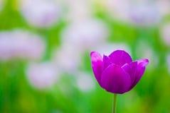 Tulipe violette vive, macro, ressort Photo libre de droits