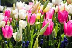 Tulipes à Amsterdam Image stock