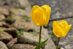 Tulipes à l'extérieur Photos stock