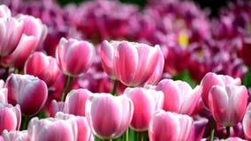 tulipes banque de vidéos