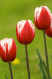 Tulipes Photos stock