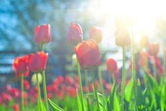 Tulipes Image stock