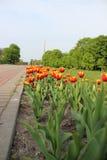 Tulipes Photos libres de droits