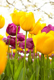Tulipes Images stock
