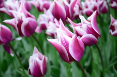 Tulipes Photographie stock libre de droits