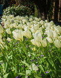 Tulipes Photographie stock