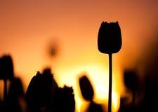 Tulipes au coucher du soleil Photo libre de droits