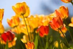 Tulipes au-dessus de ciel bleu photos stock
