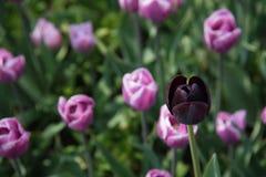 Tulipes au jardin de tulipe Image libre de droits