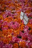 Tulipes au jardin de tulipe Photographie stock libre de droits