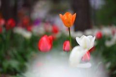 Tulipes au printemps Photos libres de droits