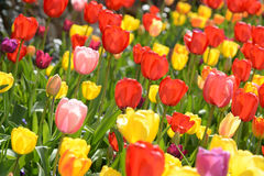 Tulipes au printemps Image libre de droits