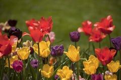 Tulipes au soleil, jardins de Meadowlark, VA Images libres de droits