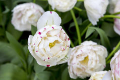 Tulipes aux Pays-Bas photographie stock