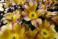 Tulipes aux Pays-Bas photographie stock libre de droits