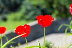 Tulipes avec les pétales rouges fleurissant le jour ensoleillé Photos stock
