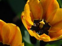Tulipes Belles fleurs de source Image libre de droits