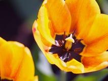 Tulipes Belles fleurs de source Photo stock
