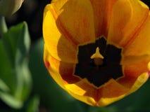 Tulipes Belles fleurs de source Images stock