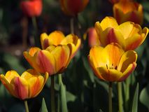 Tulipes Belles fleurs de source Photos stock
