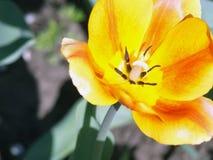 Tulipes Belles fleurs de source Photographie stock libre de droits