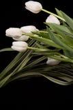 Tulipes blanches Images libres de droits
