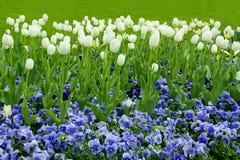 Tulipes blanches Photos libres de droits