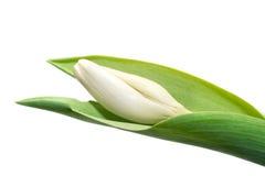 Tulipes blanches Image libre de droits