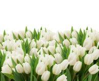 Tulipes blanches photos stock