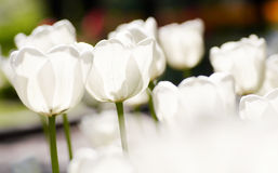 Tulipes blanches Photographie stock
