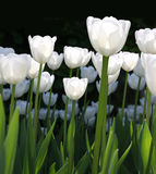 Tulipes blanches Image stock